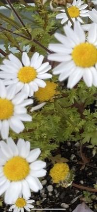 この花の名前はマーガレットですか?  自信ないので教えてください。