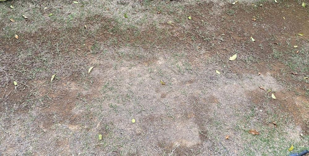 四月中旬でこの状況の芝生って復活見込みあるでしょうか? 家の庭に植えて2年くらい経ってます。関東南部です。目土(砂)を昨年入れすぎたせいか四月中旬でまだらです。日当たりは5時間以上は当たってるとは思います。