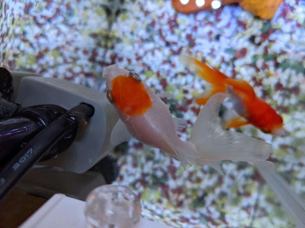 いつもいつもアドバイスを頂きありがとうございます。 今回は丹頂の金魚についてご相談です。 ついこの前まで転覆治療のため塩浴をし、治ったので本水槽に戻しましたが、 ふと今日みると、鱗が若干立っているのを発見しました。 これは松かさ病でしょうか。。。