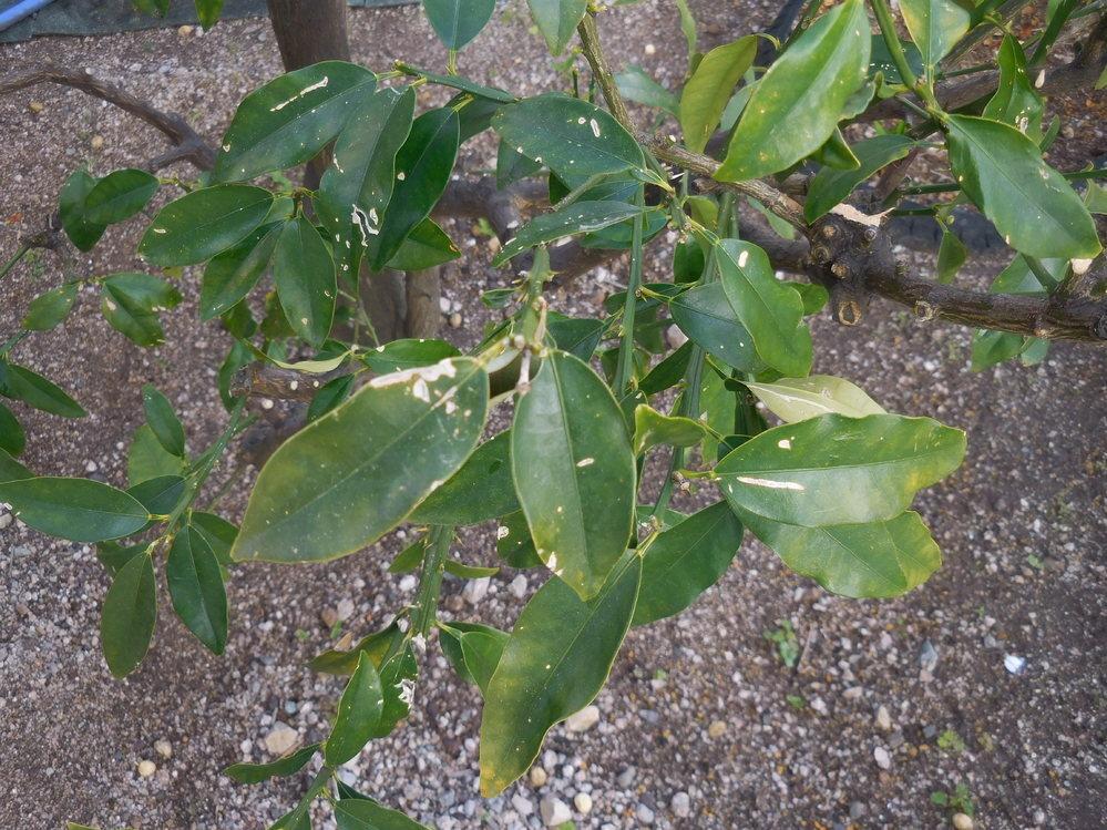 キンカンの葉、虫か菌でもいるのでしょうか? 全体的にこんな感じです。 ちなみに4m程離れた場所にあるツツジが褐斑病なので、そちらにはトップジンMをする予定です。