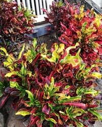 ハワイ島に旅行に行った時にこのような植物を見たのですが、名前が分かりません。 日本で購入できるなら鉢植え程度の大きさのものを購入したいと思っております。 ご存知の方がいらっしゃいましたら教えてください。