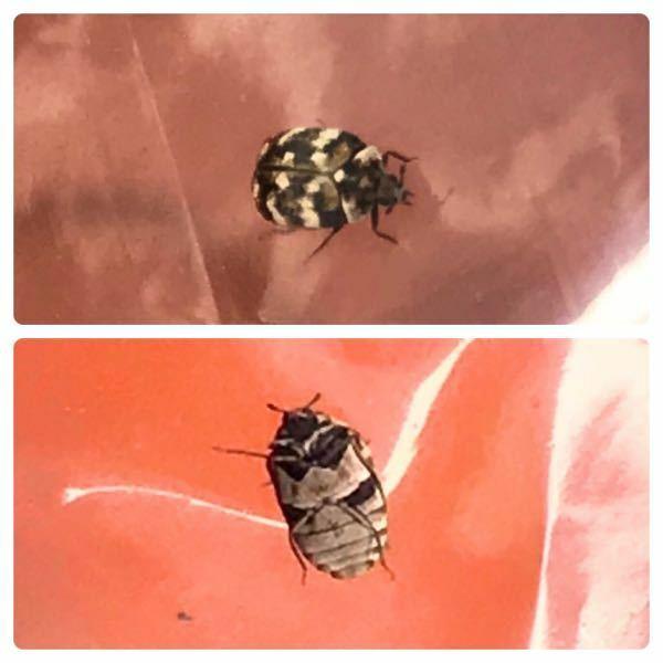 昆虫の種類 写真の昆虫について 種類が分かる方、ご教示ください。 本日福岡県で撮影したものです。 全長1cm弱のコガネムシ?のような虫です。