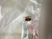 蜘蛛の種類について判別お願いします  九州北部に在住しているものです ハイイロゴケグモという毒蜘蛛と酷似していたため、見つけた瞬間にスリッパで叩いてしまいました  調べると別の種類のクモ(マダラヒメグモなど)が出てくるのですが、このクモはどっちなのでしょうか?