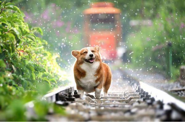 コーギーとかいうクソ犬の、なにが可愛いのかさっぱり理解できません。 こんな私にコーギーの魅力を教えてください。