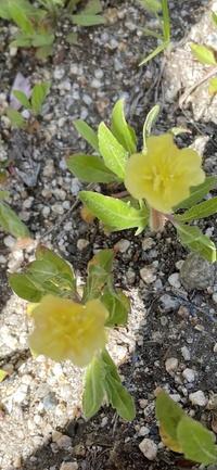 この花は マツヨイグサ ですか?  葉のほうにピントが合ってます、、