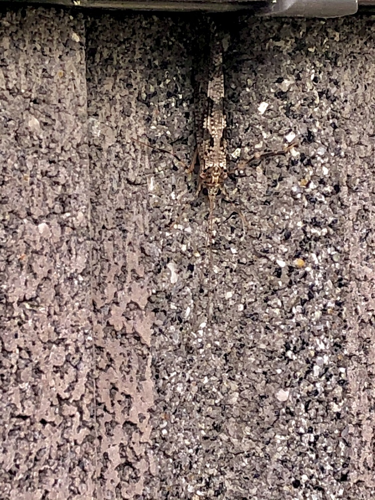 画像わかりにくいかもしれないです この虫はなんという虫でしょうか? 害のある虫かどうか心配なので教えて頂きたいです!