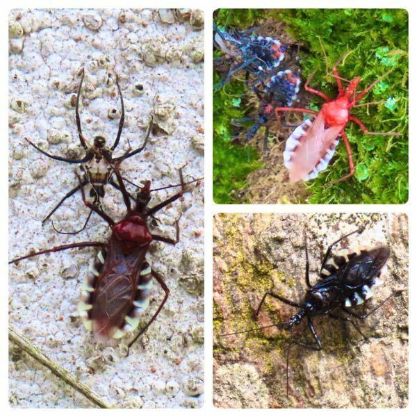 昆虫の種類 写真の虫について 種類が分かる方、ご教示ください。 昨日福岡県で撮影したものです。 ①写真の個体は全て、ヨコヅナサシガメでしょうか。 ②写真左の上の個体は様子が違いますが、こちらは何でしょうか。