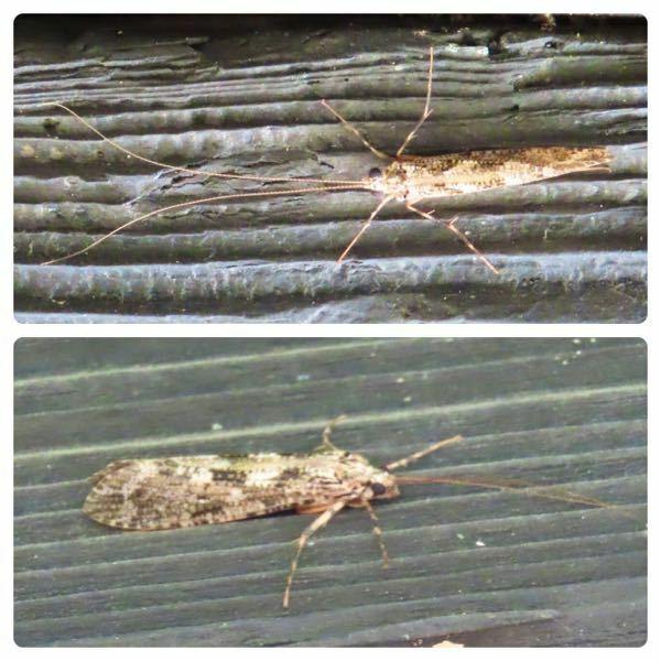 昆虫の種類 写真のトビケラ?について 種類が分かる方、ご教示ください。 昨日福岡県で撮影したものです。 また上下別個体のため、種類が違う場合は併せてご教示ください。