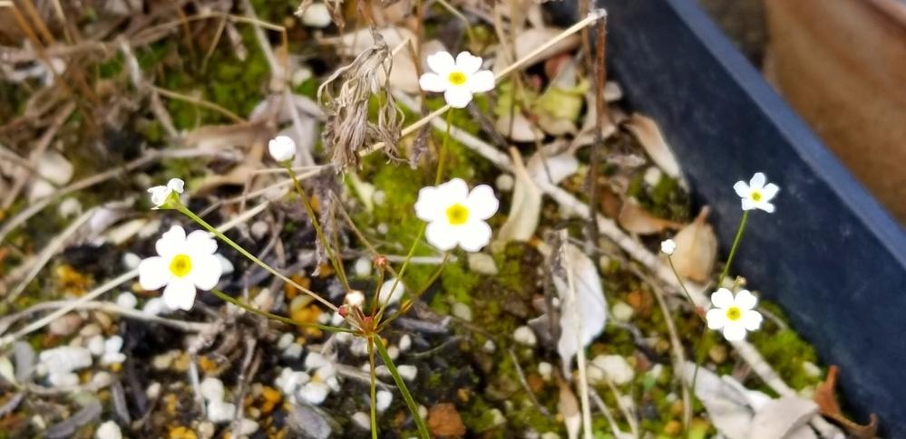 この小さい花は何という植物でしょうか? プランターに咲き残っていたものです。