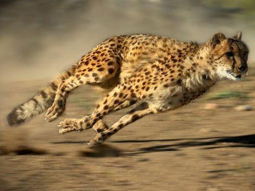 獲物を捕捉、時速120キロで疾走する チーターて、カッコいいですよね?