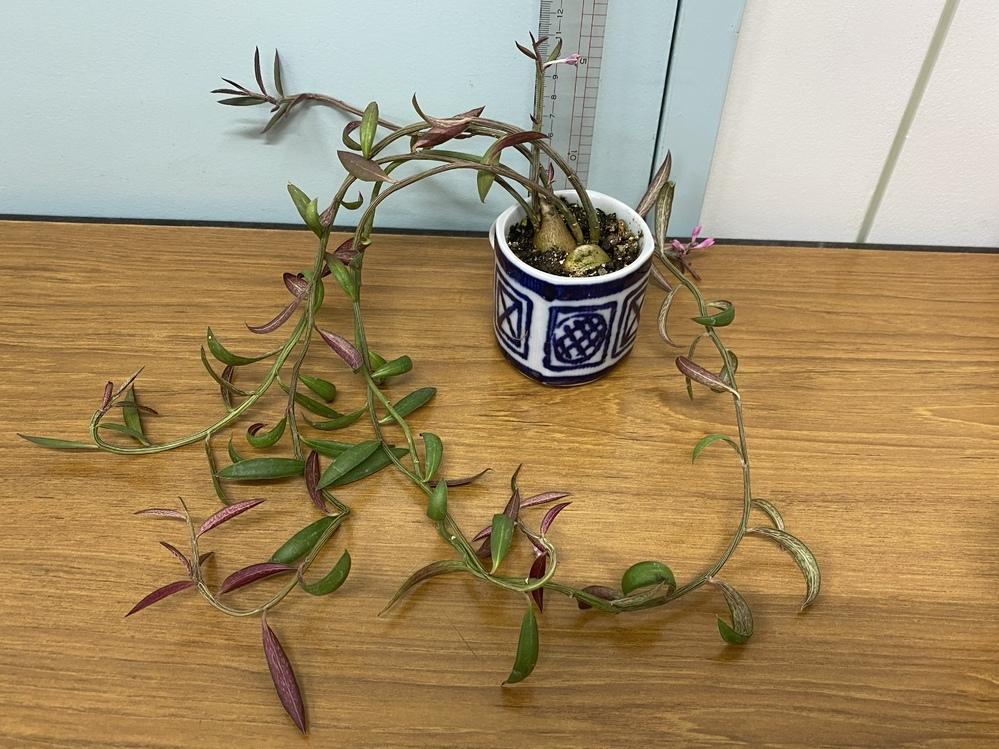 この植物の名前がわかりません。 わかる方、教えてください。ルビーネックレスかと思いましたが、葉がちがうようだし、花も違うような、、、。 よろしくお願いします。