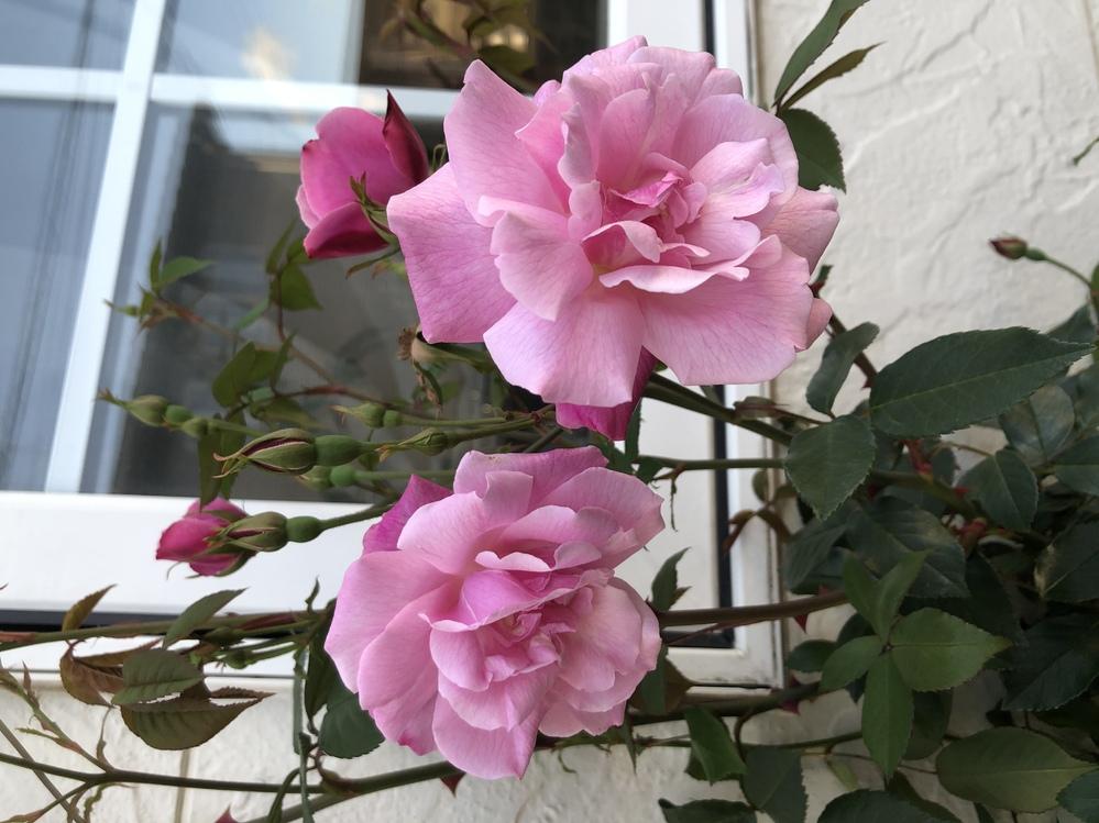 庚申バラのロサキネンシスかロサダマスケナのどちらかだと思うのですが、品種に詳しい方いたら教えて下さい。