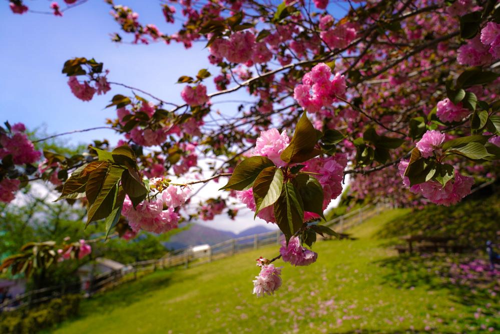 この木は何という木でしょうか?ピンクのボンボンのような花が見事でした。 桃?花桃?
