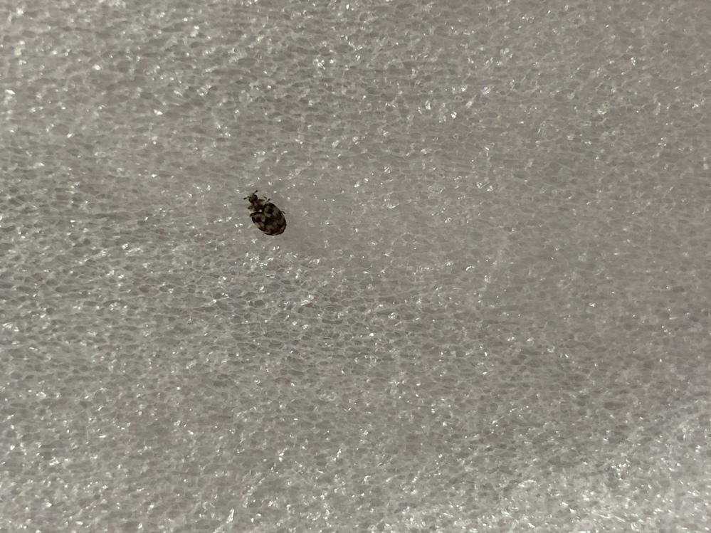 画像の虫はなんの虫ですか? 寝室に何匹かいることに今日気づいたのですが、ダニだったら怖いので、
