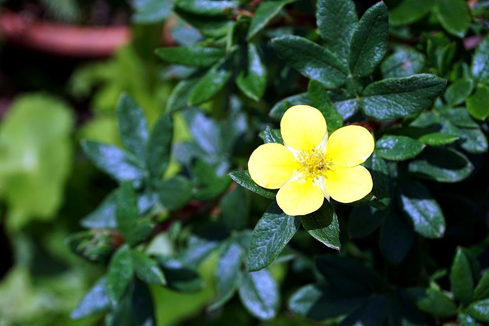 この黄花の低木は何でしょう?冬場は落葉します・・・丈50cm、花径2cm