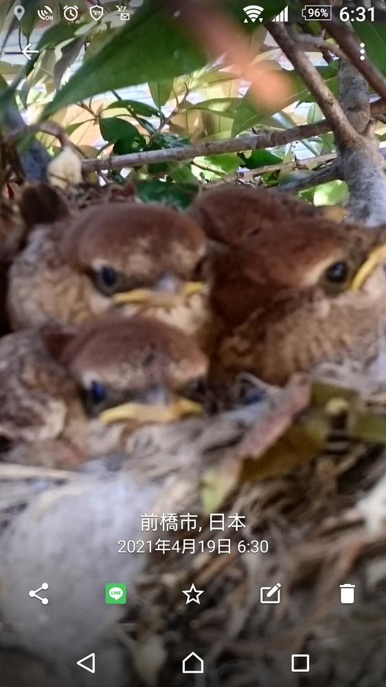 4月に家の垣根で孵化しました。何鳥のひなでしょうか?教えて下さい。親の足は茶色ぽいです。