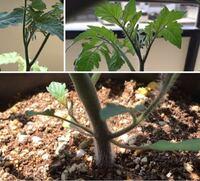 プランターで、チェリーメイトとアイコを育てています。初心者です。脇芽も最近知り、少し取りましたが、この写真に写ってるものは、分かりにくくて、脇芽か教えてほしいです。 ただ脇芽を取ったらダメな品種もあると知りました。 難しい家庭菜園。色々教えてほしいです