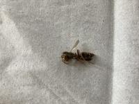 今朝、洗濯物の中に蜂がいたみたいで、子供が刺されてしまいました。 痛いと言いながら学校に行ってしまったのですが、何蜂かも分からず… 心配で… この蜂の種類、対処法などわかる方いらっしゃいますか?