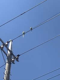 この鳥の名前を教えてください。 東京ですが家の近くにいて見たことない鳥なので驚いています。