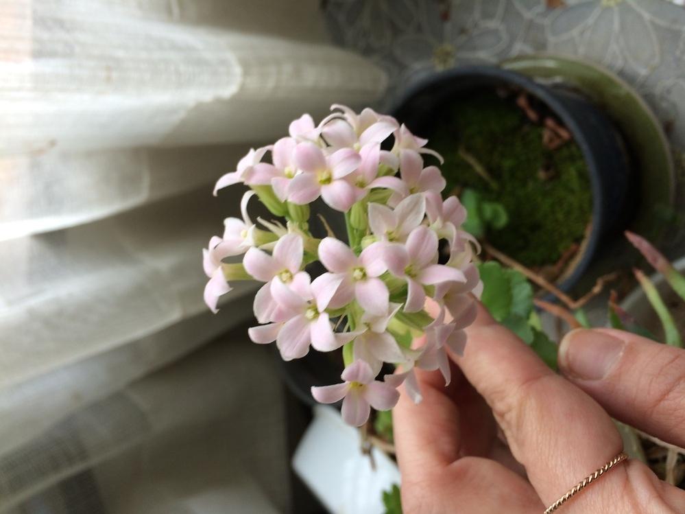 この花はなんという名前の花ですか? 買った時はふだがあったのですがなくしてしまい花の名前が分かりません。どなたかご存知の方教えてください。