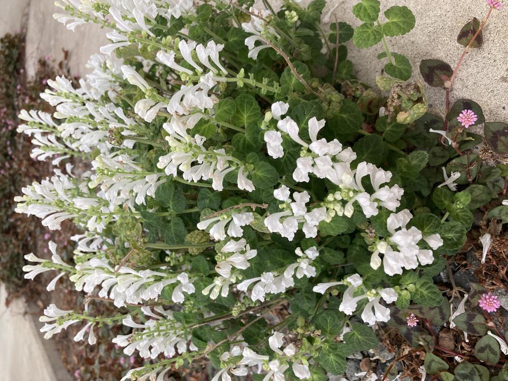 花の名前を教えてください。 どこかからタネが飛んできて、家の駐車場に白いお花が咲いているのですが、名前が分かりません。 春に咲き、花が終わるとタネができて落ちて増えているようです。 キレイなので、もっと増やしたいので名前を教えて欲しいです。 よろしくお願いします。
