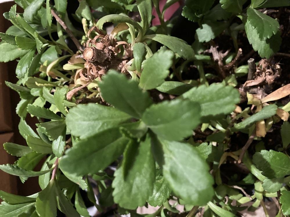 花の名前を教えて頂きたいです(´-ωก`) 夏ごろにマーガレットのような白い花を咲かせます。 葉っぱは丸みのあるギザギザになってます!