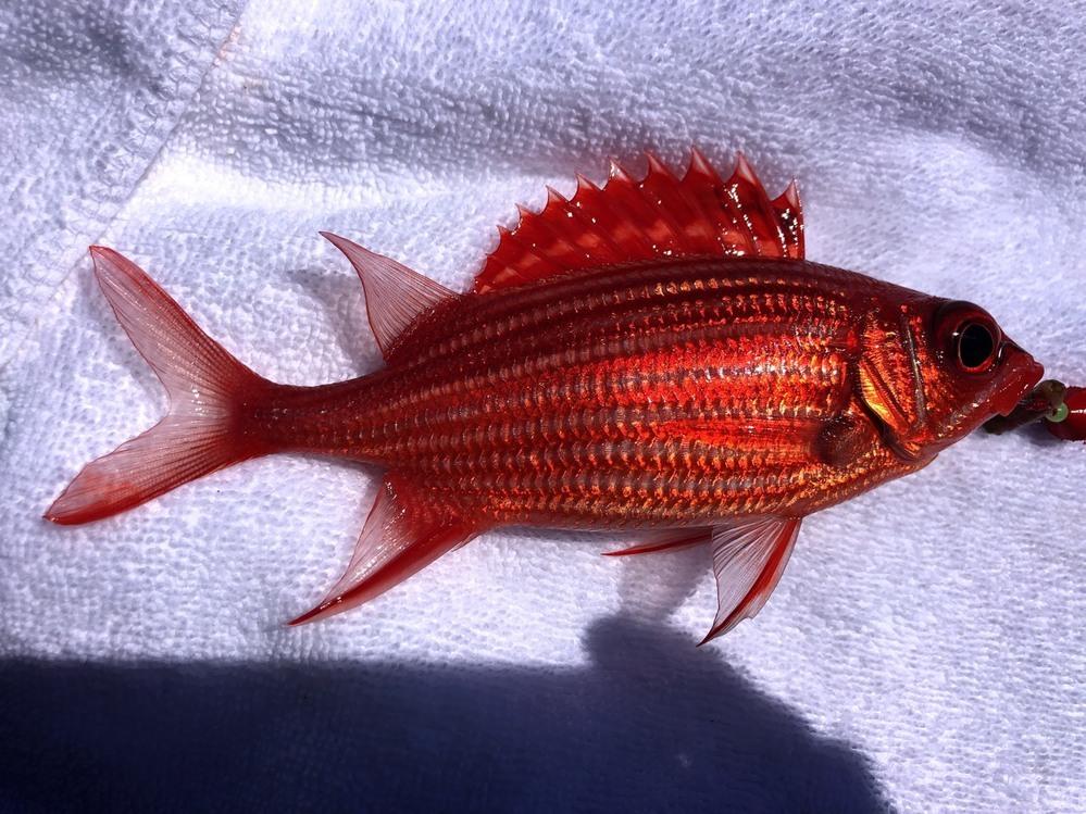 沖縄の波止でテトラ穴釣りをしていたら、こんな魚が釣れました。 沖縄のお魚事実に詳しい方、この魚の名前を教えて下さい。