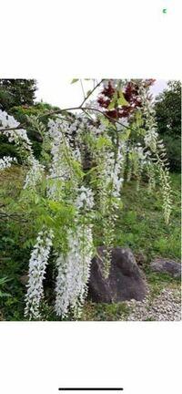 これは何の花ですか?藤?白い藤ってあるんですか?