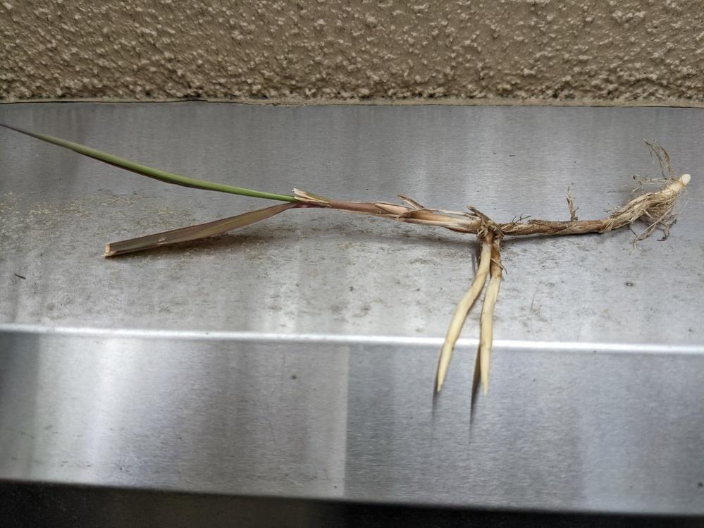 芝生に写真のような雑草がいっぱい生えてきました。根っこがしっかり張っており、抜こうとしても途中でちぎれてしまいます。 何という名前の草ですか?効果的な駆除方法はありますか?