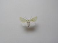 この蛾の種類は何ですか? アオスジアオリンガで合っていますか? 兵庫県産 8月採集です。