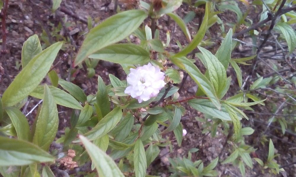 画像の花の名前をご存じの方、いらっしゃいますでしょうか? 膝上くらいまでの高さで、たくさん花をつけます。4月上旬ごろ満開でした。