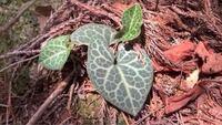 植物に詳しい方にお尋ねします。ユキノシタっぽい植物を見つけたのですが、ちょっと違うみたいです。この植物の候補でもいいので分かる方、教えてください。宜しくお願いします。