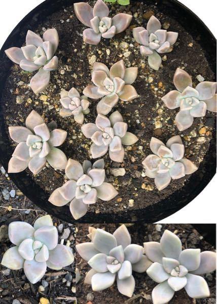 この多肉植物の名前を教えてください。 Googleフォトで調べましたが、朧月//グラパラリーフ等と違う名前が出てしまいます。 写真の葉の色が変わっているのは触ったら表面の粉 ︎が取れたためです(・_・; 宜しくお願いします。