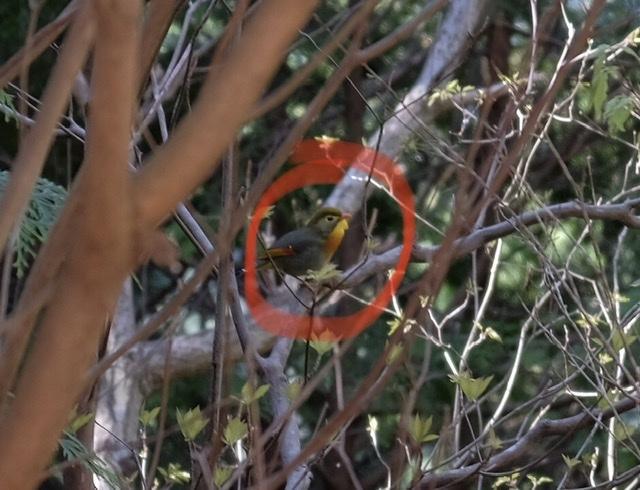 なんという鳥でしょうか? 先週、吉野山で見かけ、連続で鳴いていました。