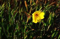 この花の名前を教えて下さい。 海岸の砂地に咲いていました。