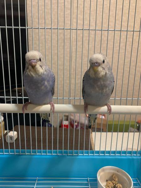 セキセイインコの性別を教えて下さい(画像あり) 先日からセキセイインコを2羽お迎えしました。 今生後2ヶ月ちょっとですが、 この子たちの性別はわかりますか?? また、この子たちは兄弟なのですが もし男女だった場合、 成鳥になって交尾してしまっても問題ないのでしょうか。