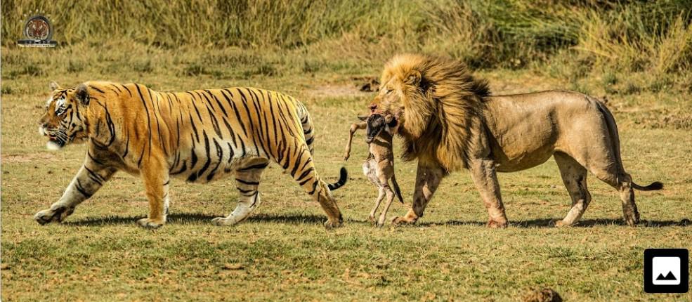 トラは700kgのスイギュウを引き摺るくらいのパワーが有るらしいですが、それって世界一のパワーリフターよりパワーで劣るんじゃないですかね?