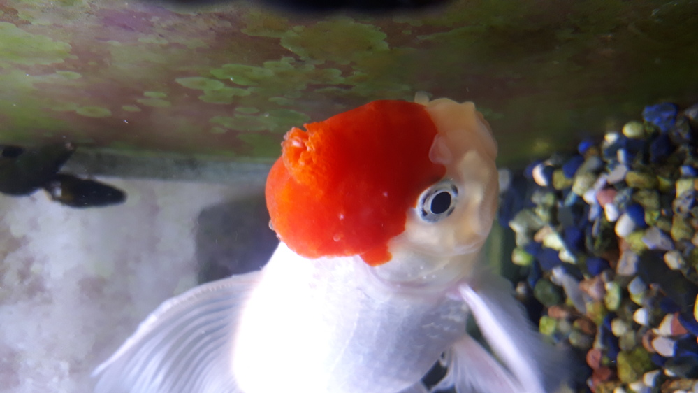 金魚の頭部にイボのようなものができてしまいました。 種類はタンチョウで、頭部の肉瘤に5日ほど前に、オレンジの小さなできものができ、それがどんどん大きくなっています。イボが破裂したような形をしていて、とても痛そうなのですが、金魚は変わったところはなく、元気そうです。 なんの病気なのでしょうか? 治療可能ならどうしたらいいでしょうか? どうぞ、よろしくお願いします。