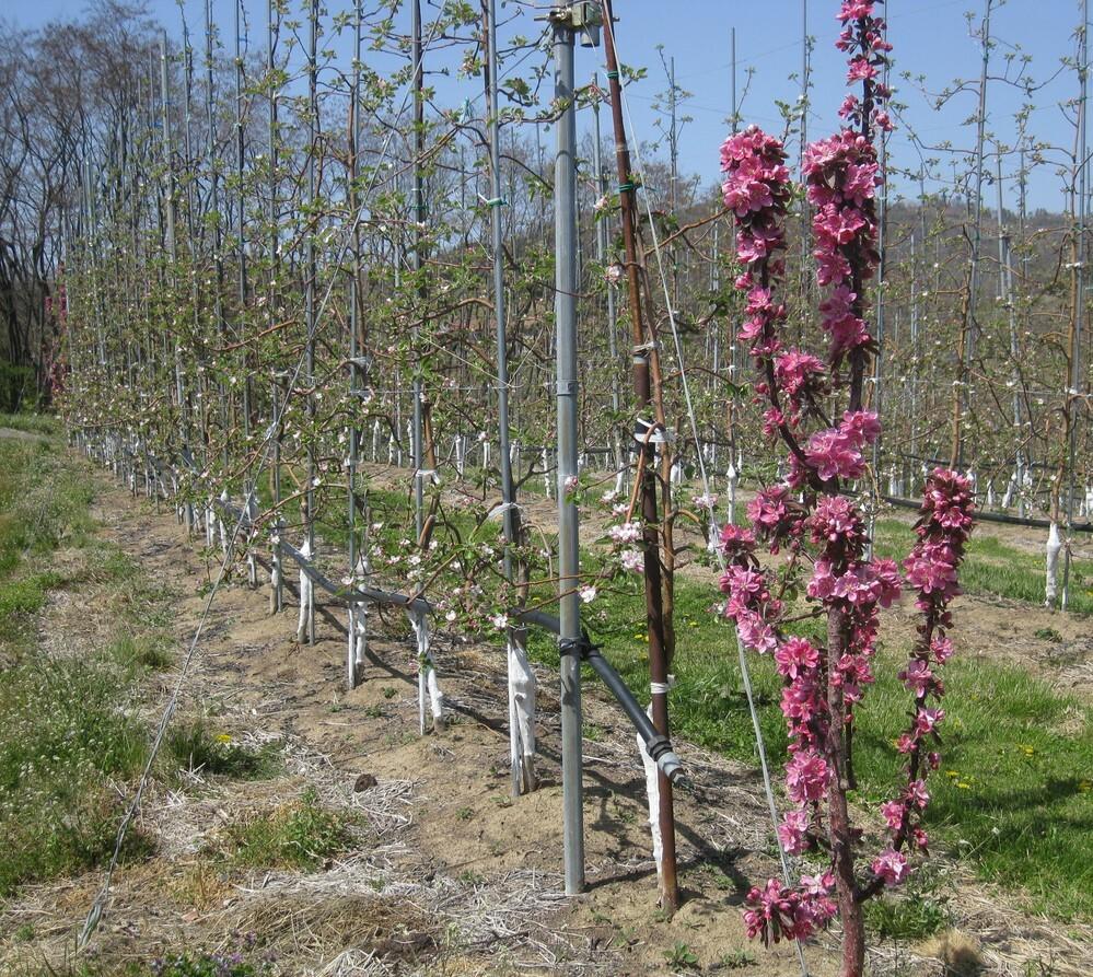 今日長野県内で撮りました。リンゴ畑の入口に赤紫の花の咲く木がどこのリンゴ畑にも同様に植えてありますが何のためでしょうか?
