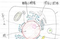 医療系専門学校生です。解剖学で細胞についてプリントが配られ、Aは核膜となっていたのですが、粗面小胞体ではないのでしょうか? 画像はテキストをできるだけ似せて描きました。核とAの細胞小器官らしきものは接していますが、指し示す線は境界ではありません。