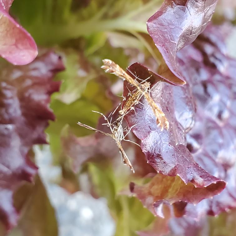 虫の名前を教えて下さいm(_ _)m サニーレタスにくっ付いていました。交尾中? ユニークな形状で、気になります。