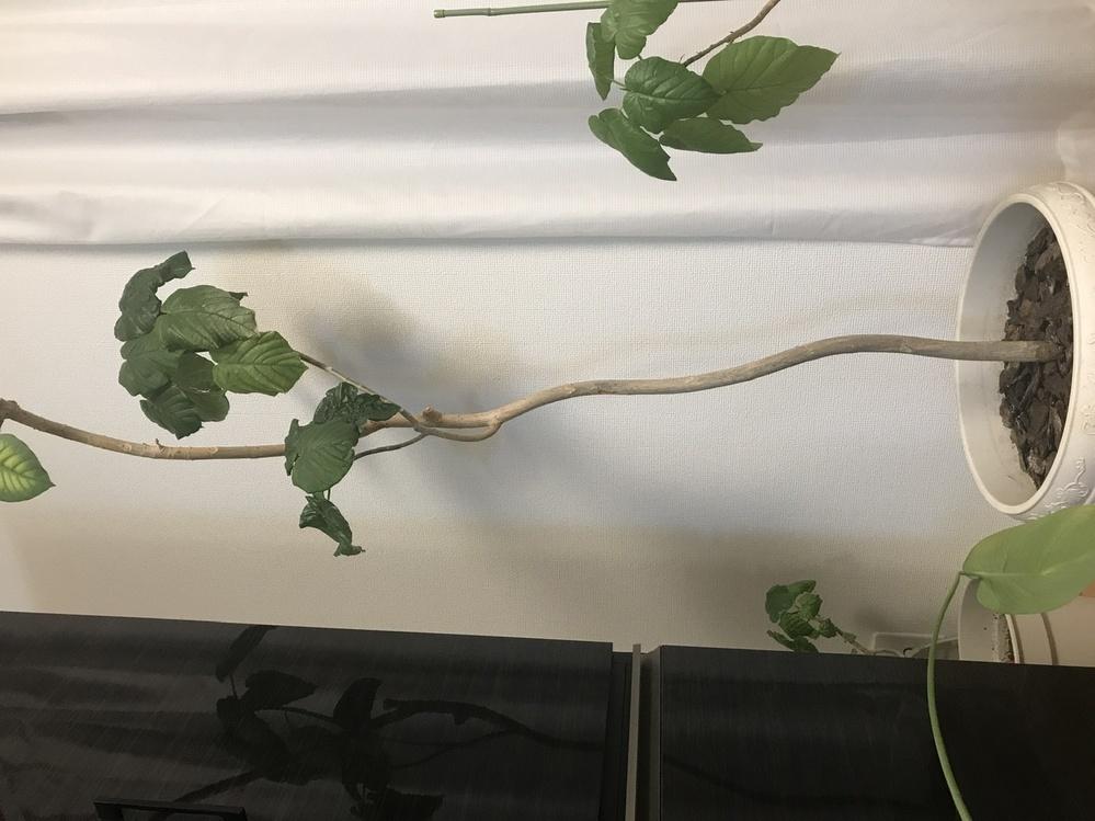 お家に15年ぐらい一緒にいるウンベラータがいます。 茎を太くしたいのですがどの辺で剪定したらいいでしょうか。 前に刺し木した子供のウンベラータも剪定したいのですが茎だけにしたら枯れますか?
