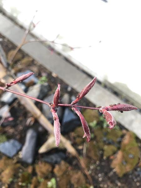 もみじの葉っぱのつぼみに虫がいっぱい付いているんですが、何という虫でしょうか。 駆除した方が良いのでしょうか。
