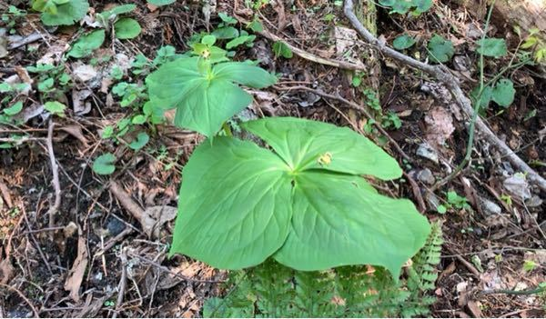 植物に詳しい方にお聞きします。ミツバにしては大きすぎるのですが、真ん中に花みたいなのがあります。何という植物なのでしょうか?候補だけでもいいので教えてください。宜しくお願いします。