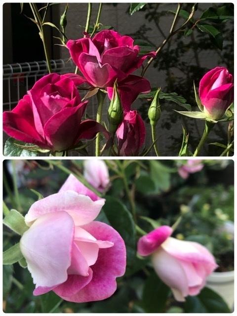 先月バーガンディアイスバーグの大苗を買いました 蕾がたくさんついていてどんどん咲き進んでいるのですが、突然色のとても薄い蕾が出てきました これが「枝変わり」と言う症状でしょうか? これから先の蕾を元の濃いバーガンディ色に戻すことは出来るのでしょうか? 画像は上が先週咲いた状態で下が薄い色の蕾です