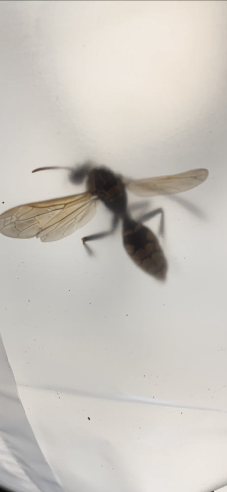 ☆知恵コイン500枚☆蜂について 去年自宅のポストの隣にドロの壺のような蜂の巣を作られました。 今年はベランダのハンガーの所に巣を作ろうとしているハチがいました。 (地面に置いているハンガー) こちらの画像でハチの種類はわかりますでしょうか? ドロ蜂の特徴とは違う気がして、 危険性はあるのでしょうか。 ご回答お願い致します。