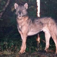 かつて日本に存在していた、もしかしたら今も森の奥深くに密かに生息しているかも知れないニホンオオカミは、 ヨーロッパオオカミの近縁種ですか?それとも秋田犬や紀州犬等の日本犬の近縁種ですか? シベ...