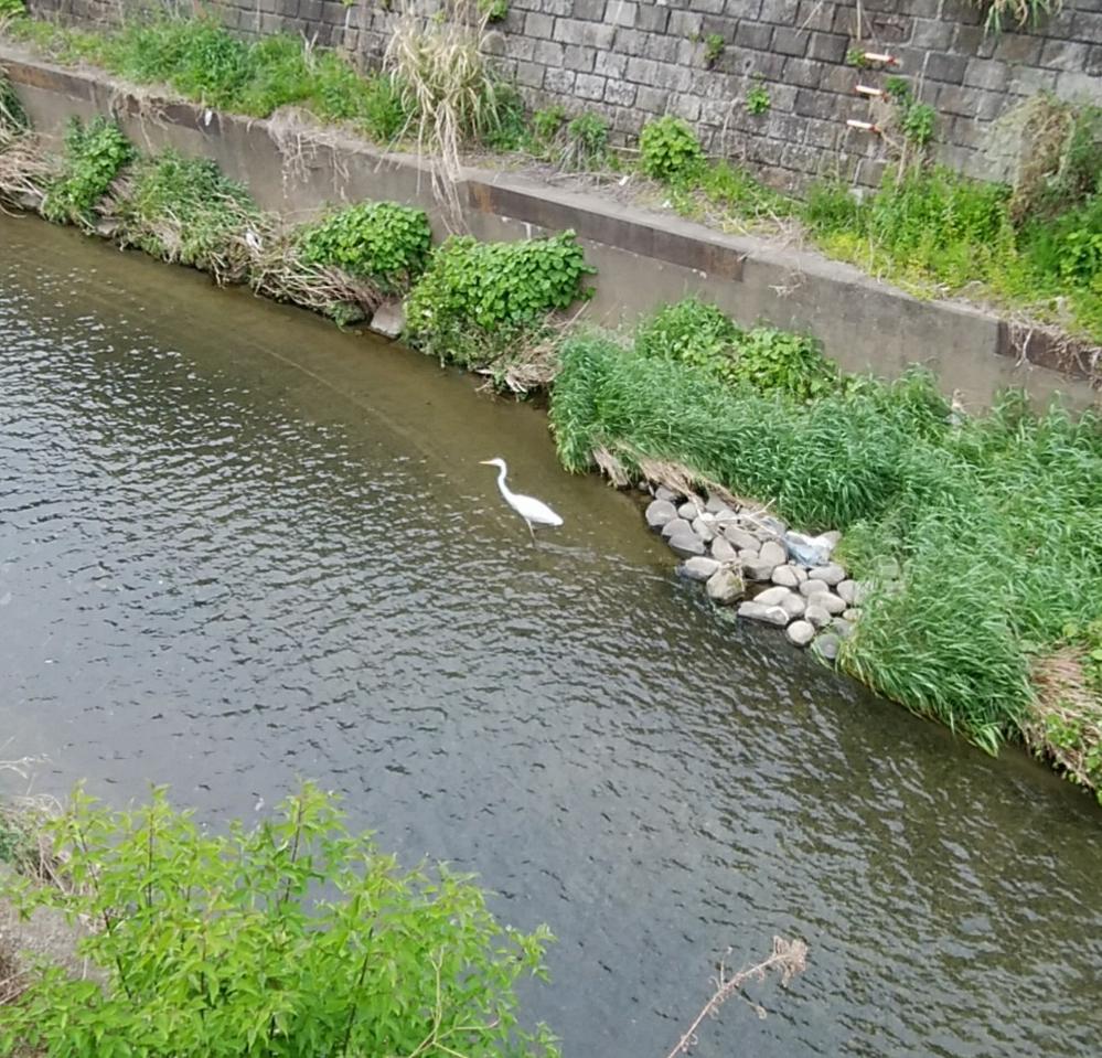 ウチの近所の小さな川で見ました。小さい魚を捕まえ食べたのですが…… この白い鳥はなんですか ️