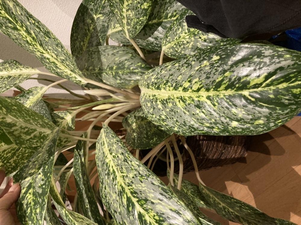この観葉植物の名前がわかりません。 数年前に一目惚れして購入したのですが‥。 同じ物に巡り会ったことが無く調べてもわかりません。詳しい方、よろしくお願いします