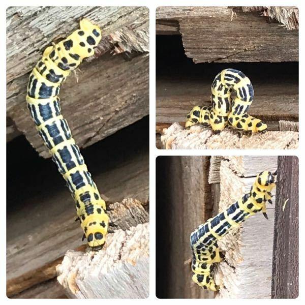 蛾の種類 写真のシャクガの幼虫について 種類が分かる方、ご教示ください。 本日福岡県で撮影したものです。 調べたところ、ヒロオビトンボエダシャクに似ていると思うのですがいかがでしょうか。